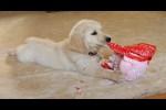 Video - Hunde packen ihre Geschenke aus