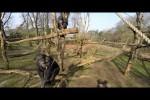 Video - Schimpanse schnappt sich die Drohne