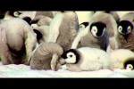 Video - Kaiserpinguin