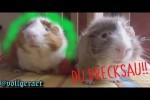 Video - Meerschweinchen auf Bayrisch
