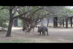 Video - Wenn sich eine Giraffe wehrt