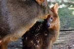 Video - ein 1-Tag-altes Pudu (die weltweit kleinsten Hirsche)
