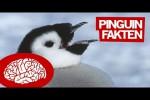 Video - 11 Fakten über Pinguine