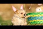 Video - Süße Oster-Welpen