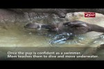 Video - Schwimmstunde für ein Otter-Baby