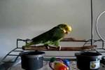 Video - Papagei schreit wie ein Baby