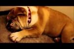 Video - Dieser Hund schnarcht wie ein Mensch