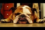 Video - Ultimate Bulldog Video Compilation 2013