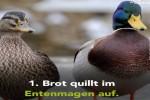Video - Warum darf man Enten eigentlich nicht mit Brot füttern?