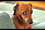 Video - Hunde fühlen sich schuldig