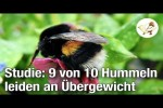 Video - Studie: 9 von 10 Hummeln leiden an Übergewicht (Postillon24)
