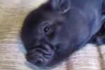 Video - Mini Pigs