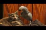 Video - Papagei ärgert Katze