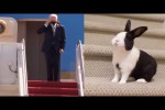 Video - Rabbit falling vs Joe Biden falling