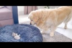 Video - Golden Retriever Shocked by a Kitten occupying his bed!