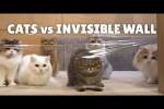 Video - Katzen und eine unsichtbare Mauer
