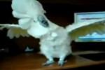 Video - dieser Kakadu steht auf Rock