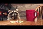 Video - Kleiner Waschbär isst Fruit Loops zum Frühstück