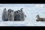 Video - Baby-Pinguine in Gefahr