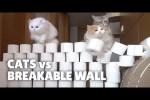 Video - Katzen gegen Mauer aus Klo-Rollen