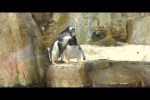 Video - Pinguin ertappt Rivalen