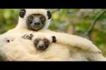 Video - Sifaka Lemuren machen eine aufwendige Reise für Essen