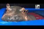 Video - Baby-Nilpferd Fiona