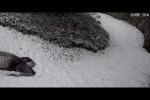 Video - Pandas im Schnee
