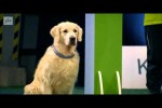 Video - Hungriger Golden Retriever
