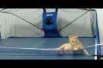 Video - Katze spielt Tischtennis