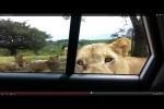 Video - Löwen können Türen öffnen