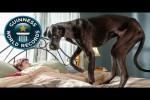 Video - Der größte Hund der Welt