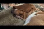 Video - Faule Hunde