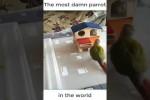 Video - Fieser Papagei