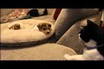 Video - Hauskatze lernt neuen Welpen kennen