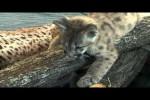 Video - Süße Pumababys im Zoo