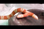Video - die Schlange mit 2 Köpfen