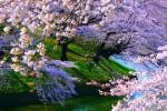 Video - ein Traum von Kirschblüten