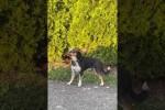Video - Hund schämt sich, nachdem er beim Fluchtversuch erwischt wurde
