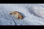 Video - Hund schlittert verschneiten Hang runter