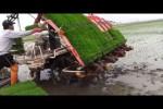 Video - wie in China Reis angepflanzt wird