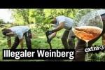 Video - Der Reale Irrsinn: Weinberg in Celle wird platt gemacht - extra 3