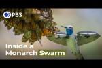 Video - Ein wunderschöner Schmetterlings-Schwarm