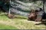 Video - Kleine Bären und eine Hängematte