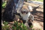 Video - Koala wird vom Baum vertrieben und schreit