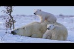 Video - Eisbär-Babies mit ihrer Mama
