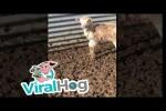 Video - Lustiges Mäh von kleinem Schaf