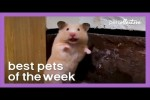 Video - Social Distancing Hamster - witzige Tiere