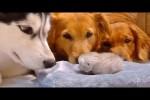 Video - Golden Retriever und Husky treffen Baby-Katze