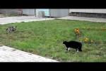 Video - Hund gegen Katze